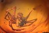 http://mczbase.mcz.harvard.edu/specimen_images/entomology/paleo/large/PALE-35472_Araneae.jpg
