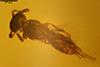 http://mczbase.mcz.harvard.edu/specimen_images/entomology/paleo/large/PALE-35475_syn2_Scelionidae_qm.jpg