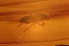 http://mczbase.mcz.harvard.edu/specimen_images/entomology/paleo/large/PALE-35475_syn3_Pterygota.jpg