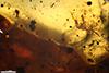 http://mczbase.mcz.harvard.edu/specimen_images/entomology/paleo/large/PALE-35479_Acari.jpg