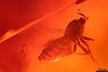 http://mczbase.mcz.harvard.edu/specimen_images/entomology/paleo/large/PALE-35481_Scatopsidae_qm.jpg