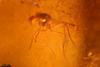 http://mczbase.mcz.harvard.edu/specimen_images/entomology/paleo/large/PALE-35482_syn2_Nematocera.jpg