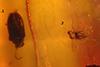 http://mczbase.mcz.harvard.edu/specimen_images/entomology/paleo/large/PALE-35483_Coleoptera.jpg