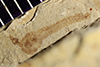 http://mczbase.mcz.harvard.edu/specimen_images/entomology/paleo/large/PALE-35620a_Arthropoda.jpg