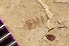 http://mczbase.mcz.harvard.edu/specimen_images/entomology/paleo/large/PALE-35642_Arthropoda.jpg