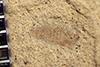 http://mczbase.mcz.harvard.edu/specimen_images/entomology/paleo/large/PALE-35647_Arthropoda.jpg