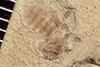 http://mczbase.mcz.harvard.edu/specimen_images/entomology/paleo/large/PALE-35656_Arthropoda.jpg