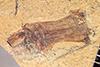 http://mczbase.mcz.harvard.edu/specimen_images/entomology/paleo/large/PALE-35658_Arthropoda.jpg
