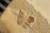 http://mczbase.mcz.harvard.edu/specimen_images/entomology/paleo/large/PALE-35676_Arthropoda.jpg