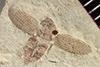 http://mczbase.mcz.harvard.edu/specimen_images/entomology/paleo/large/PALE-35809_Arthropoda.jpg