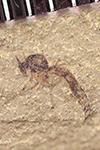 http://mczbase.mcz.harvard.edu/specimen_images/entomology/paleo/large/PALE-35923b_Arthropoda.jpg