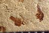 http://mczbase.mcz.harvard.edu/specimen_images/entomology/paleo/large/PALE-35933_Arthropoda.jpg