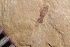 http://mczbase.mcz.harvard.edu/specimen_images/entomology/paleo/large/PALE-35959_Arthropoda.jpg