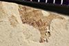 http://mczbase.mcz.harvard.edu/specimen_images/entomology/paleo/large/PALE-35991_Arthropoda.jpg