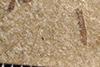 http://mczbase.mcz.harvard.edu/specimen_images/entomology/paleo/large/PALE-36250_Arthropoda.jpg