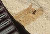 http://mczbase.mcz.harvard.edu/specimen_images/entomology/paleo/large/PALE-36253_Arthropoda.jpg