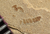 http://mczbase.mcz.harvard.edu/specimen_images/entomology/paleo/large/PALE-36295_Arthropoda.jpg