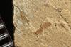 http://mczbase.mcz.harvard.edu/specimen_images/entomology/paleo/large/PALE-36296_Arthropoda.jpg