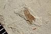 http://mczbase.mcz.harvard.edu/specimen_images/entomology/paleo/large/PALE-36302_Arthropoda.jpg
