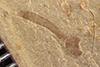 http://mczbase.mcz.harvard.edu/specimen_images/entomology/paleo/large/PALE-36315_Arthropoda.jpg