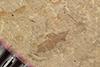 http://mczbase.mcz.harvard.edu/specimen_images/entomology/paleo/large/PALE-36316_Arthropoda.jpg