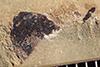 http://mczbase.mcz.harvard.edu/specimen_images/entomology/paleo/large/PALE-36426_Arthropoda.jpg