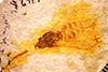 http://mczbase.mcz.harvard.edu/specimen_images/entomology/paleo/large/PALE-3642b_Palembolus_florigerus_holotype.jpg
