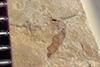 http://mczbase.mcz.harvard.edu/specimen_images/entomology/paleo/large/PALE-36438_Arthropoda.jpg