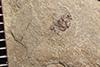http://mczbase.mcz.harvard.edu/specimen_images/entomology/paleo/large/PALE-36622_Arthropoda.jpg