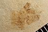 http://mczbase.mcz.harvard.edu/specimen_images/entomology/paleo/large/PALE-36686_Arthropoda.jpg
