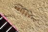 http://mczbase.mcz.harvard.edu/specimen_images/entomology/paleo/large/PALE-36689_Arthropoda.jpg
