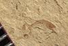 http://mczbase.mcz.harvard.edu/specimen_images/entomology/paleo/large/PALE-36697_Arthropoda.jpg