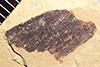 http://mczbase.mcz.harvard.edu/specimen_images/entomology/paleo/large/PALE-36701_Arthropoda.jpg