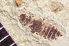 http://mczbase.mcz.harvard.edu/specimen_images/entomology/paleo/large/PALE-36736_Arthropoda.jpg