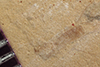 http://mczbase.mcz.harvard.edu/specimen_images/entomology/paleo/large/PALE-36792_Arthropoda.jpg