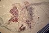 http://mczbase.mcz.harvard.edu/specimen_images/entomology/paleo/large/PALE-36974a_Arthropoda.jpg