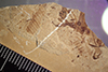http://mczbase.mcz.harvard.edu/specimen_images/entomology/paleo/large/PALE-37140_Arthropoda.jpg