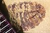 http://mczbase.mcz.harvard.edu/specimen_images/entomology/paleo/large/PALE-37192_Arthropoda.jpg
