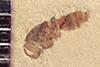 http://mczbase.mcz.harvard.edu/specimen_images/entomology/paleo/large/PALE-37263_Arthropoda.jpg