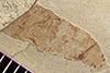 http://mczbase.mcz.harvard.edu/specimen_images/entomology/paleo/large/PALE-37377_Arthropoda.jpg