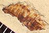 http://mczbase.mcz.harvard.edu/specimen_images/entomology/paleo/large/PALE-37379_Arthropoda.jpg
