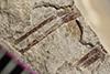 http://mczbase.mcz.harvard.edu/specimen_images/entomology/paleo/large/PALE-37484_Arthropoda.jpg