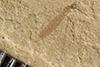 http://mczbase.mcz.harvard.edu/specimen_images/entomology/paleo/large/PALE-37588_Arthropoda.jpg