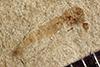 http://mczbase.mcz.harvard.edu/specimen_images/entomology/paleo/large/PALE-37646_Arthropoda.jpg