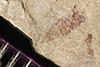 http://mczbase.mcz.harvard.edu/specimen_images/entomology/paleo/large/PALE-37649_Arthropoda.jpg