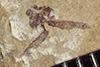 http://mczbase.mcz.harvard.edu/specimen_images/entomology/paleo/large/PALE-37749_Arthropoda.jpg