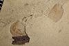 http://mczbase.mcz.harvard.edu/specimen_images/entomology/paleo/large/PALE-37980_Arthropoda.jpg
