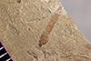 http://mczbase.mcz.harvard.edu/specimen_images/entomology/paleo/large/PALE-38059_Arthropoda.jpg