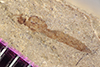 http://mczbase.mcz.harvard.edu/specimen_images/entomology/paleo/large/PALE-38127_Arthropoda.jpg