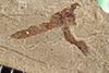 http://mczbase.mcz.harvard.edu/specimen_images/entomology/paleo/large/PALE-38170_Arthropoda.jpg